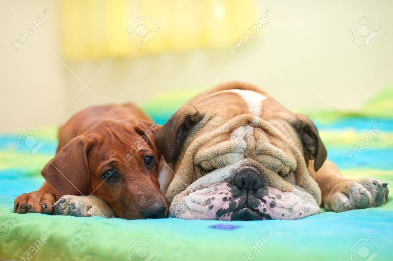 Rhodesian ridgeback puppy and english bulldog best dog friends relaxing on a bed Stock Photo - 15971414
