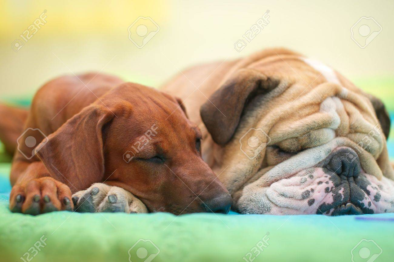 Rhodesian ridgeback puppy and english bulldog best dog friends relaxing on a bed - 15971416