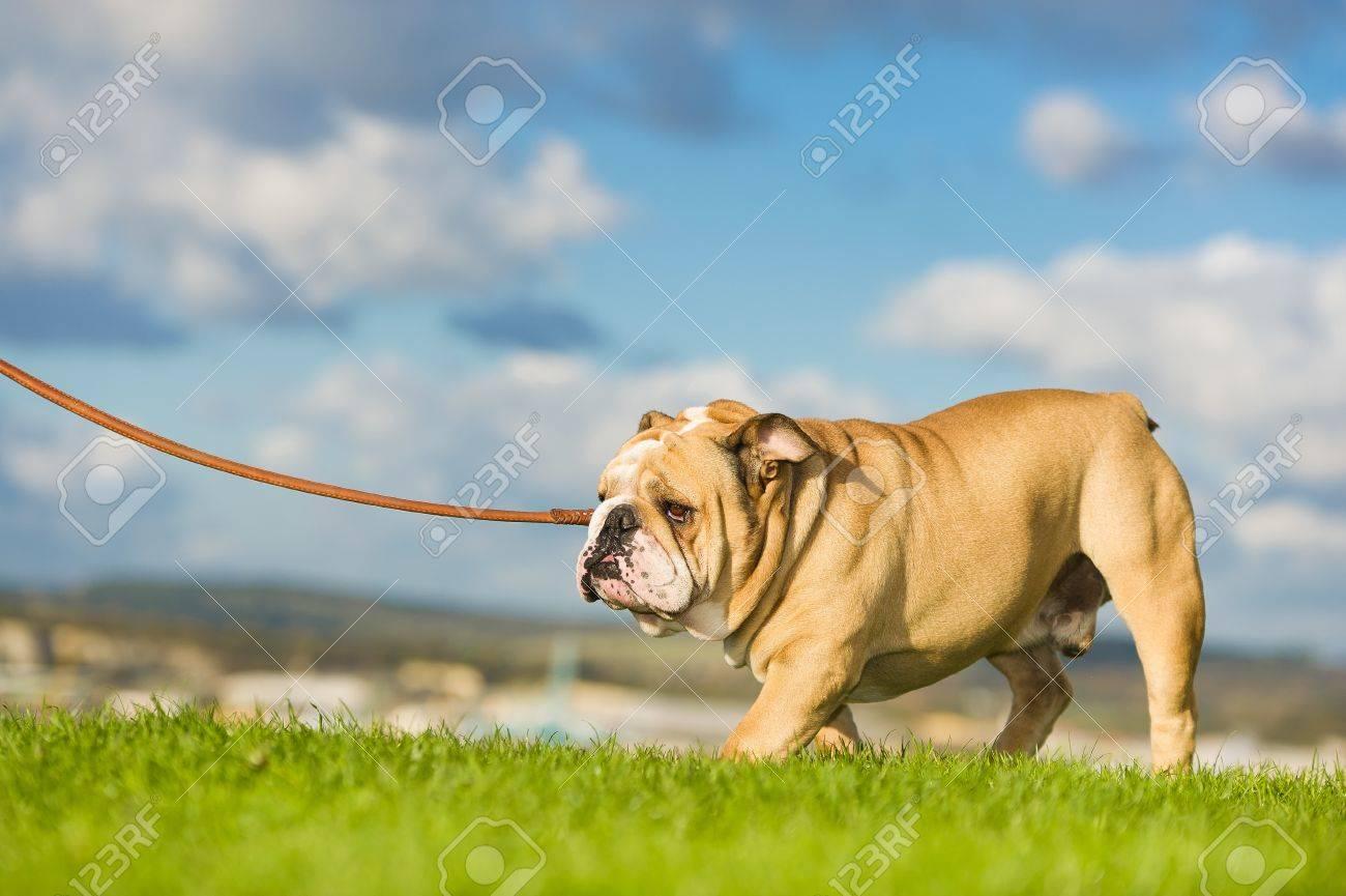 Beautiful dog english bulldog walking on a leash Stock Photo - 16600156