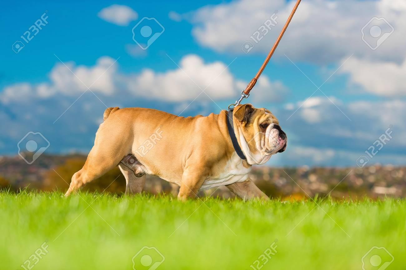 Beautiful dog english bulldog walking on a leash - 16602131