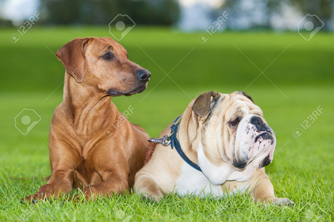 Best friends dogs english bulldog and rhodesian ridgeback Stock Photo - 16602479