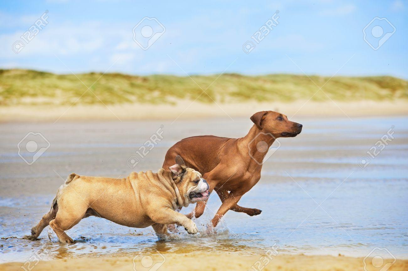 Two dogs english bulldog and rhodesian ridgeback dog running at the beach sea - 20506105