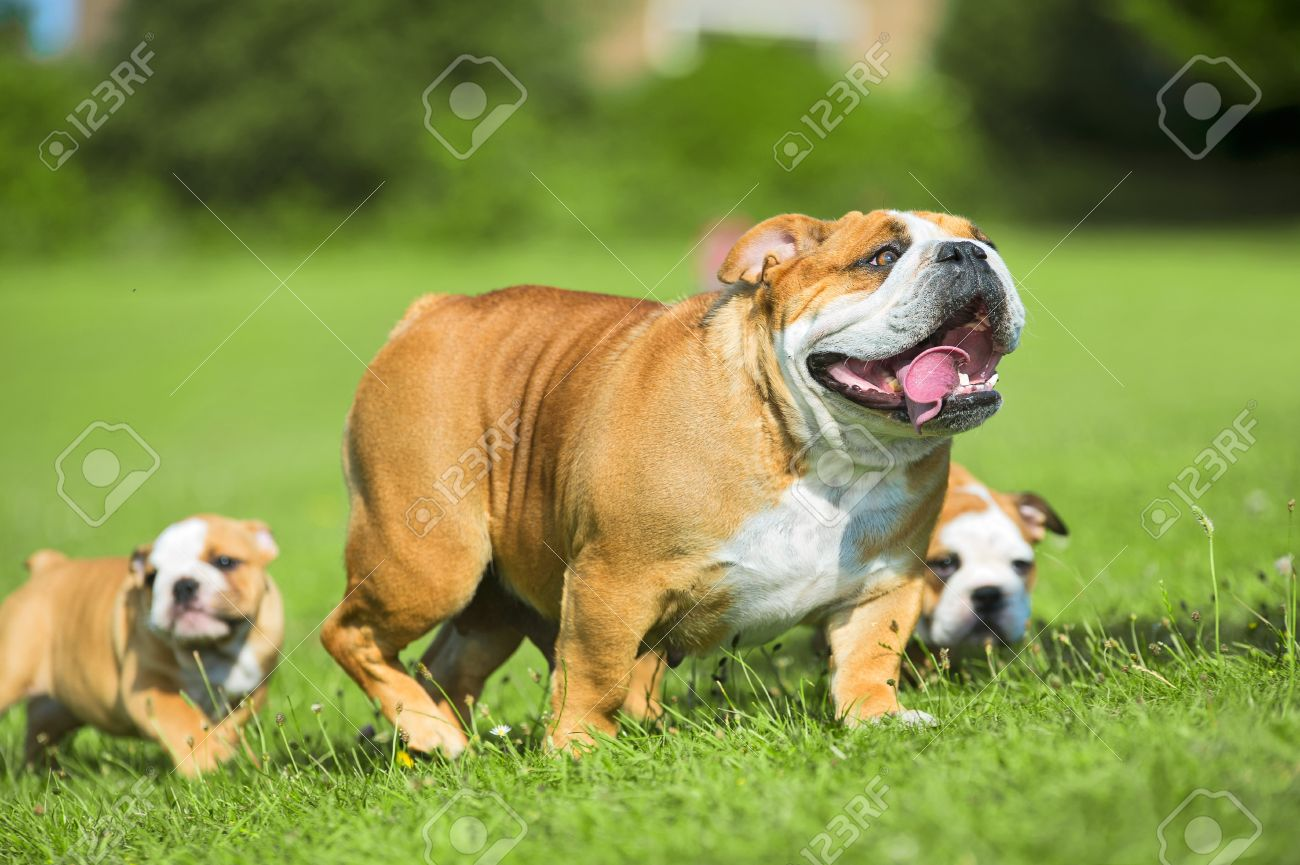 Two Cute happy bulldog puppies following their mother dog Stock Photo - 20675355