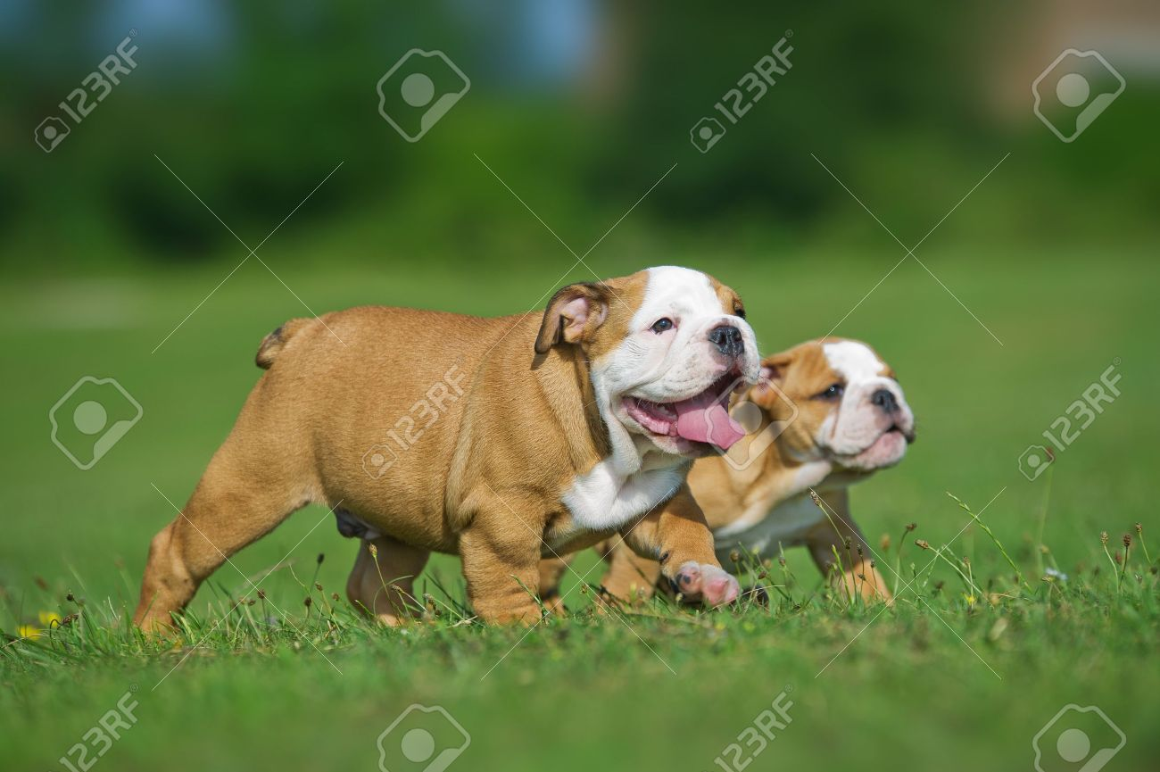 Cute happy english bulldog dog puppies playing outdoors on a fresh grass and flowers Stock Photo - 20862966