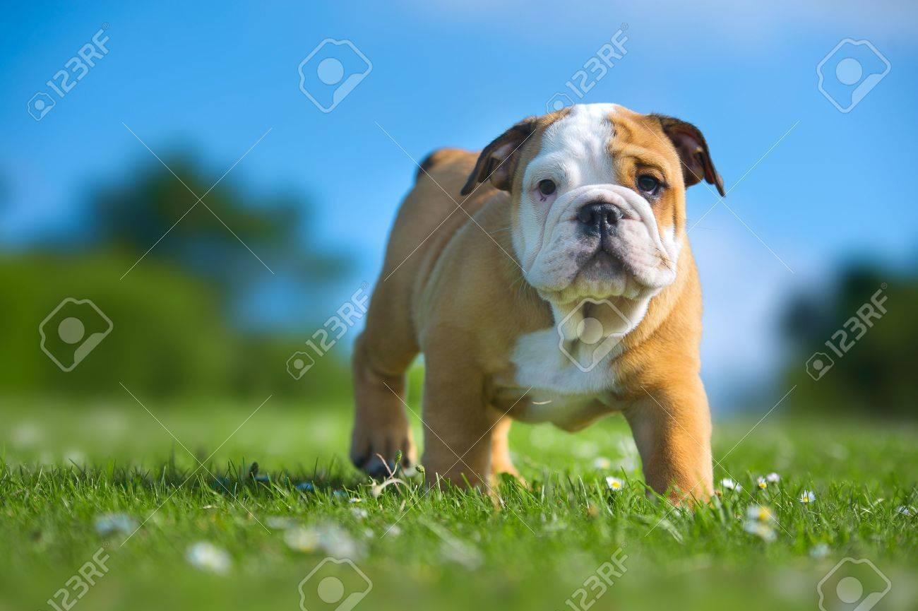 Cute happy english bulldog puppy playing on fresh summer grass Stock Photo - 20862983