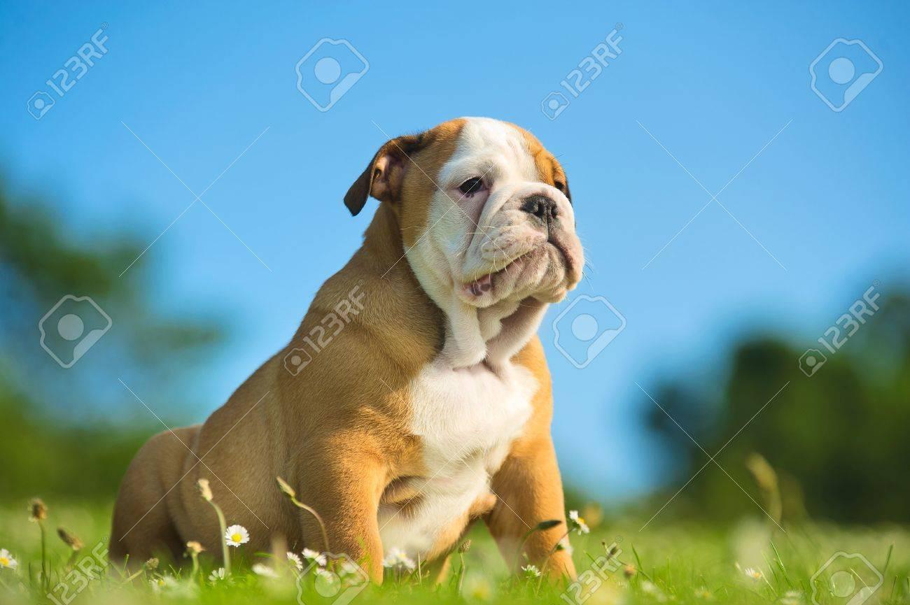 Cute happy english bulldog puppy playing on fresh summer grass - 20862989