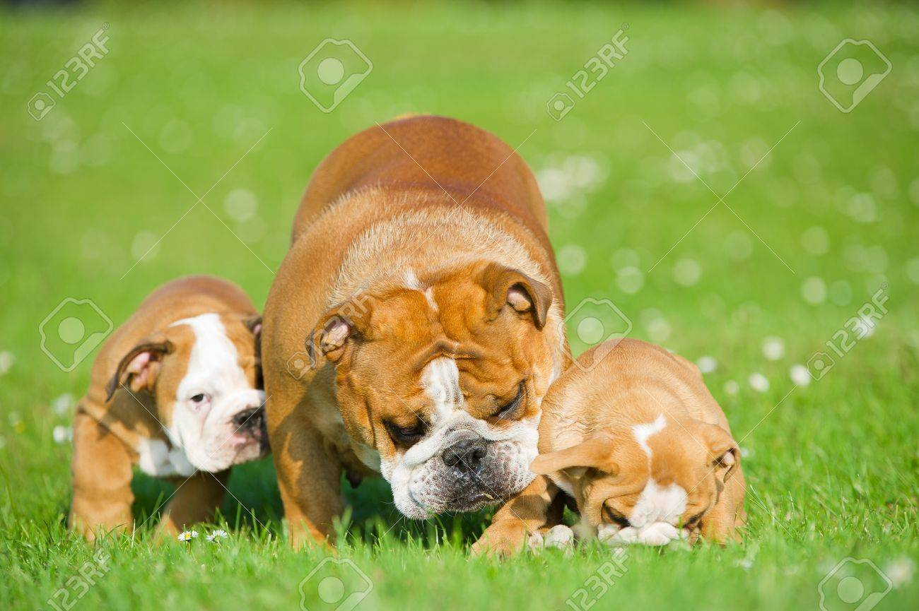 Beautiful Bulldog mother playing with her children puppies - 20675360