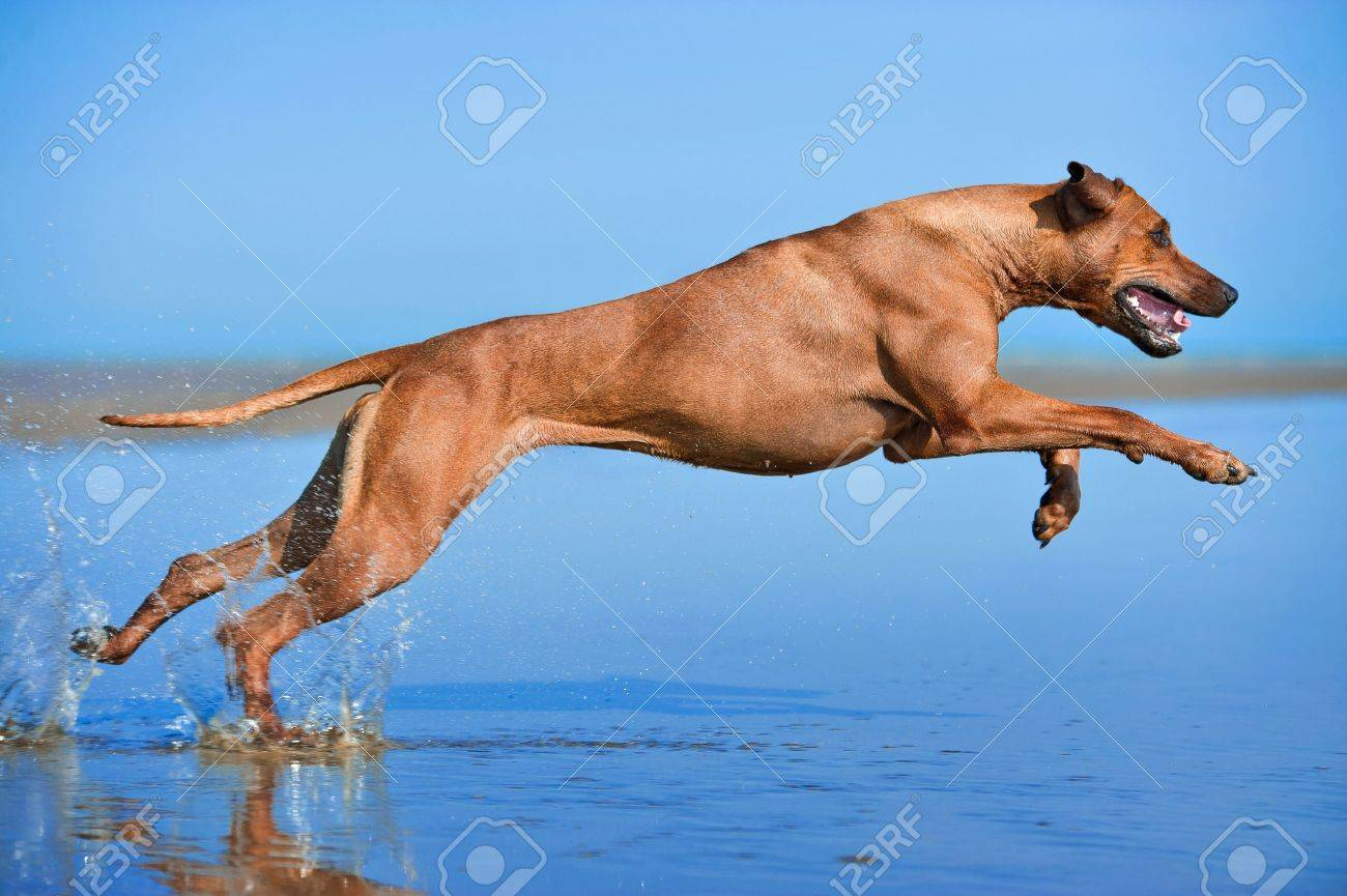 Active athletic dog puppy running at the sea Stock Photo - 20827095