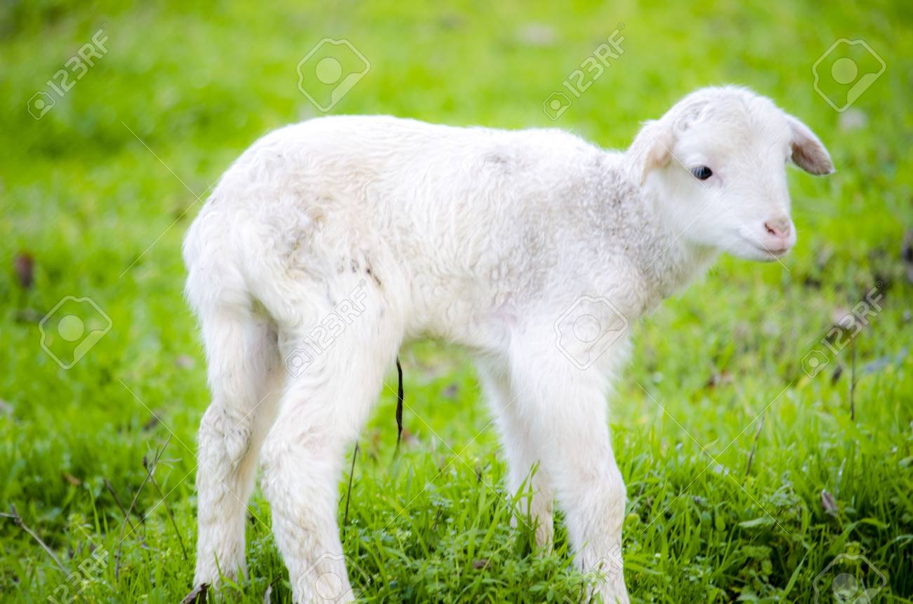 Newborn lamb Stock Photo - 17193390