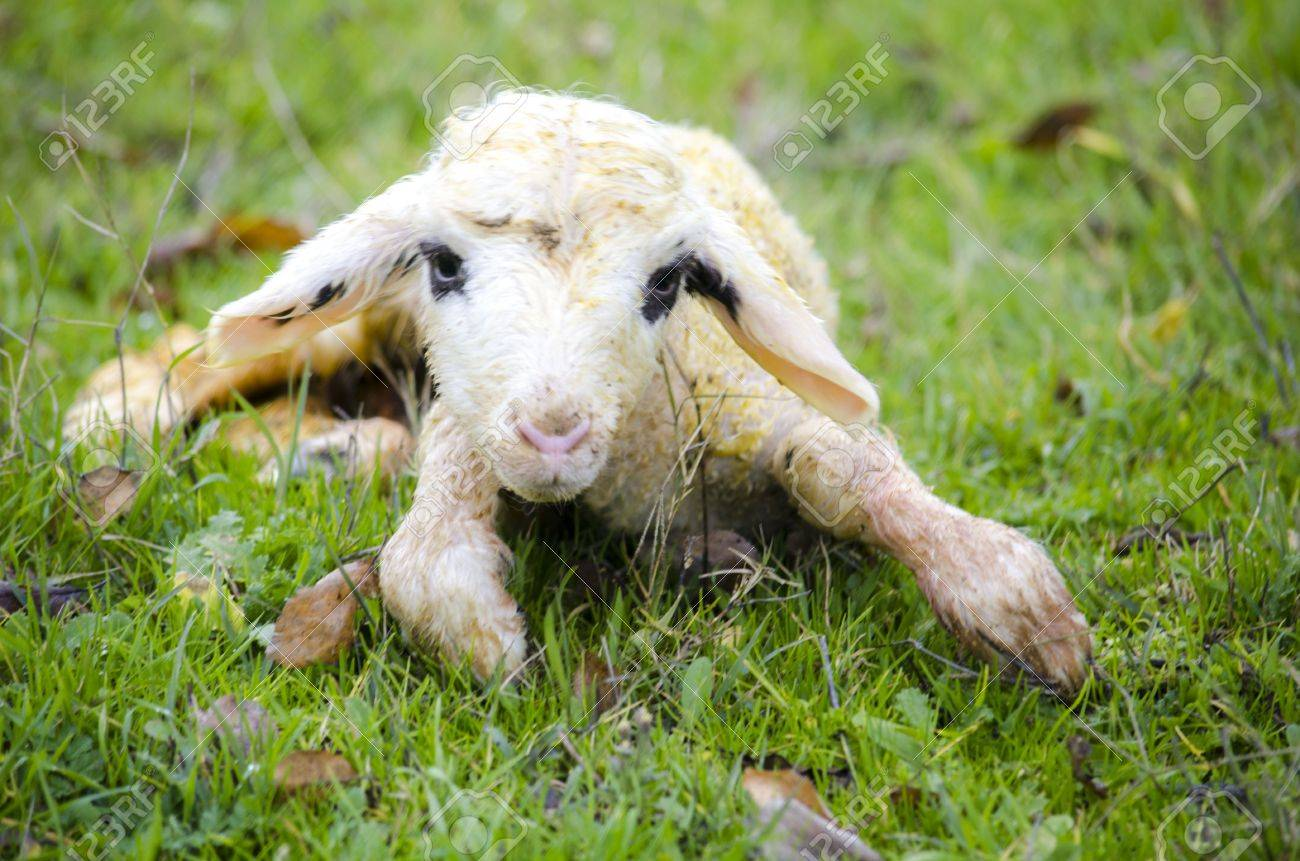 Newborn Lamb Stock Photo, Picture And Royalty Free Image. Image ...