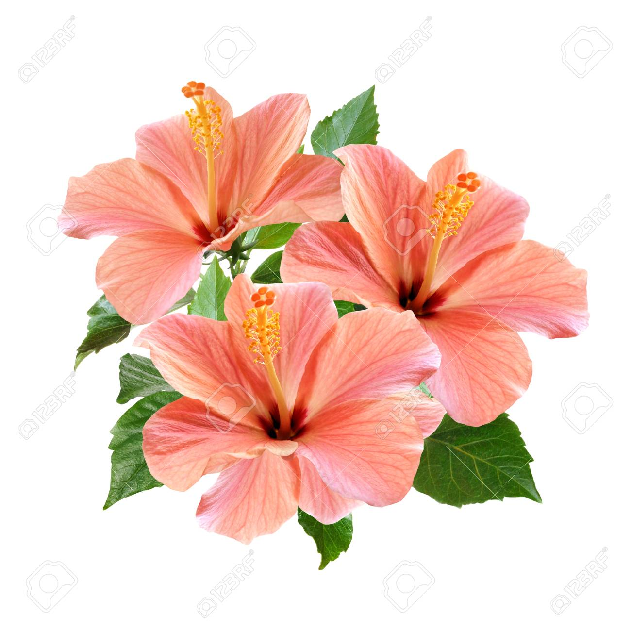 Pink Hibiscus Flowers Bouquet Isolated On White Background Stock