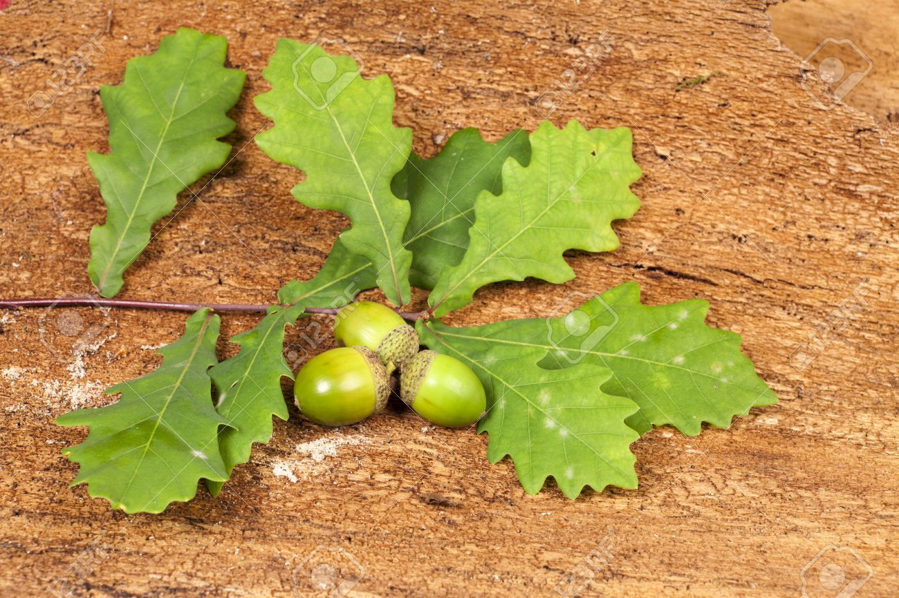 Autumn background with green acorn fruits, green oak tree leaves on barks background Stock Photo - 15767512