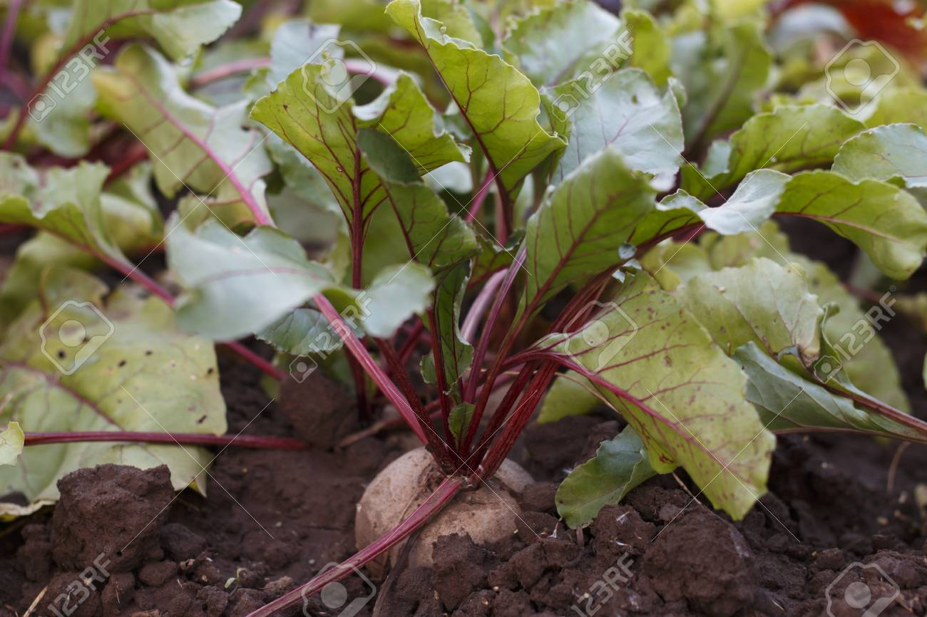Growing Beetroot In A Vegetable Garden. Beetroot On Flower Bed.. Stock  Photo, Picture And Royalty Free Image. Image 61725414.