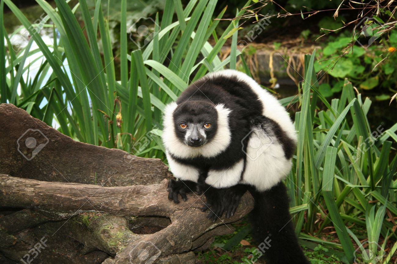 Uncategorized Madagascar Monkey lemur black and white ruffed from madagascar ape or monkey primate in natural environment stock