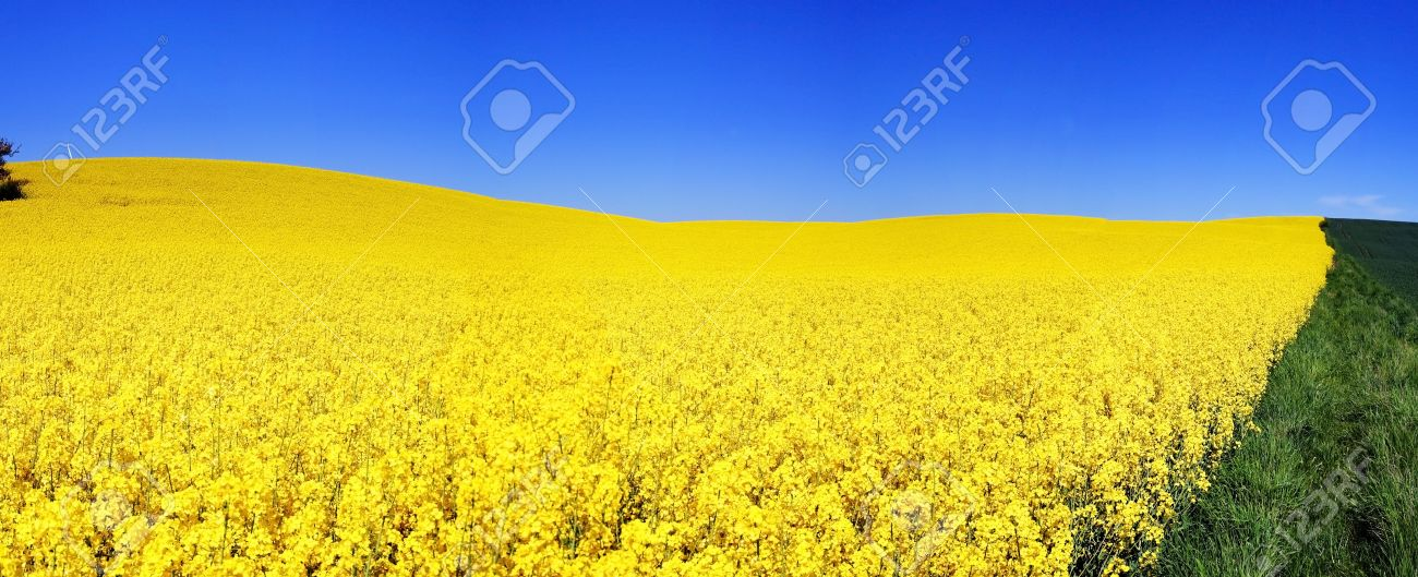 fiori gialli yellow flowers
