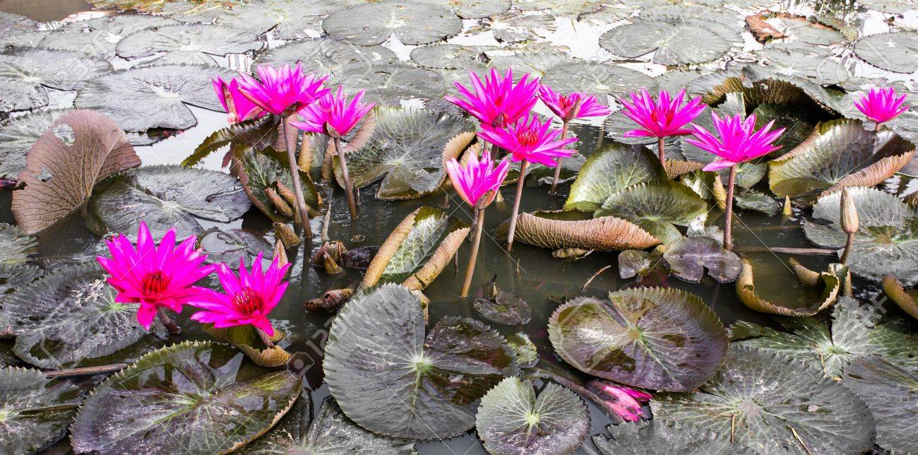 Beauty Pink Lotus Flower Stock Photo Picture And Royalty Free Image