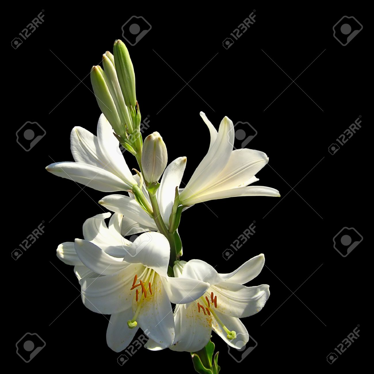 Easter lily flower closeup on black background lilium flower stock easter lily flower closeup on black background lilium flower stem with several flowers stock photo izmirmasajfo Gallery