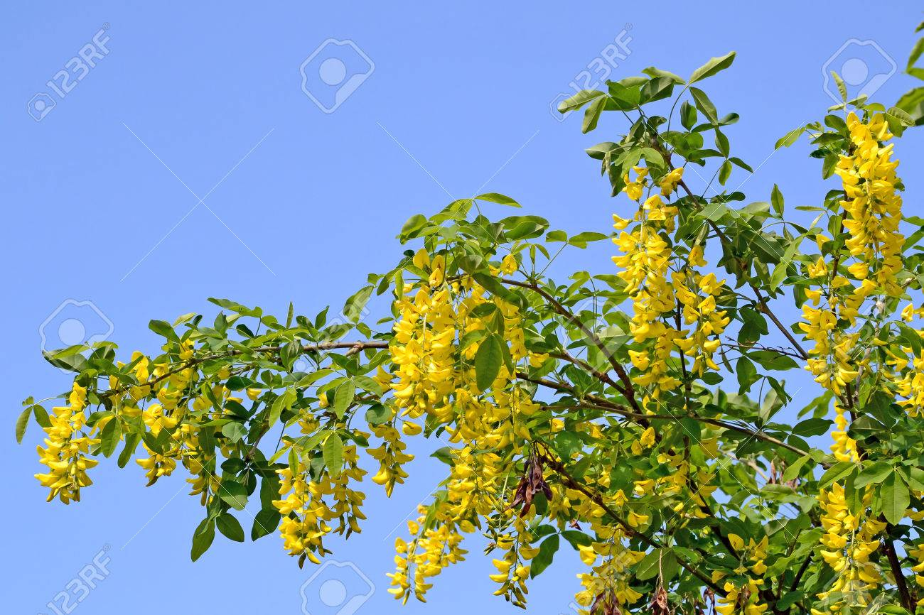 Laburnum Tree In Bloom Golden Chain Tree Branches With Yellow