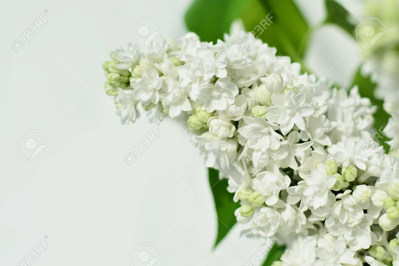 White lilac flower closeup royalty free stok fotoraf resimler stok fotoraf white lilac flower closeup mightylinksfo