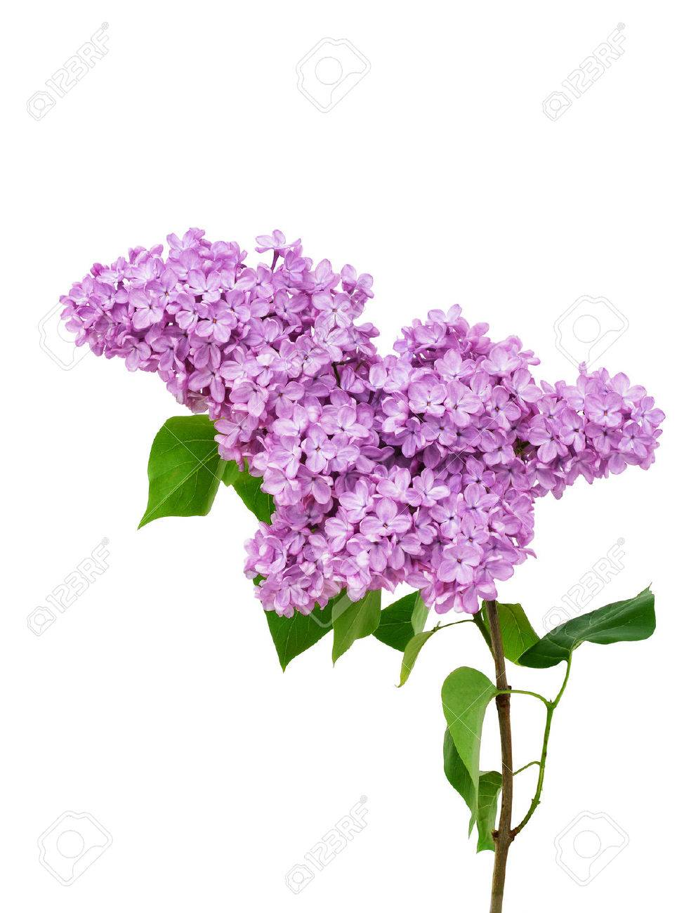 Lilac flower isolated on white background syringa vulgaris stock lilac flower isolated on white background syringa vulgaris stock photo 51151225 mightylinksfo