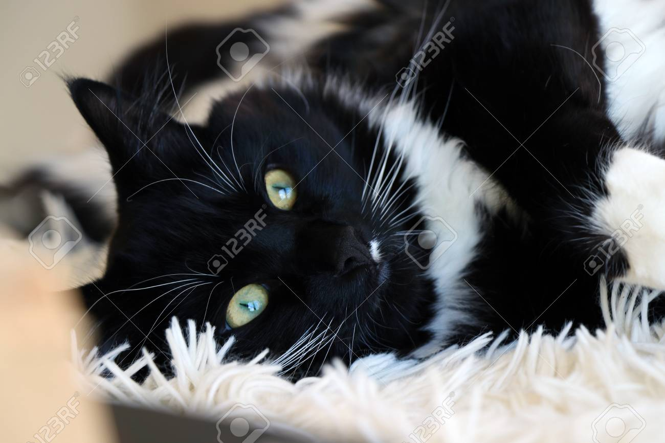 cute black and white ragdoll cat lying on fluffy blanket stock