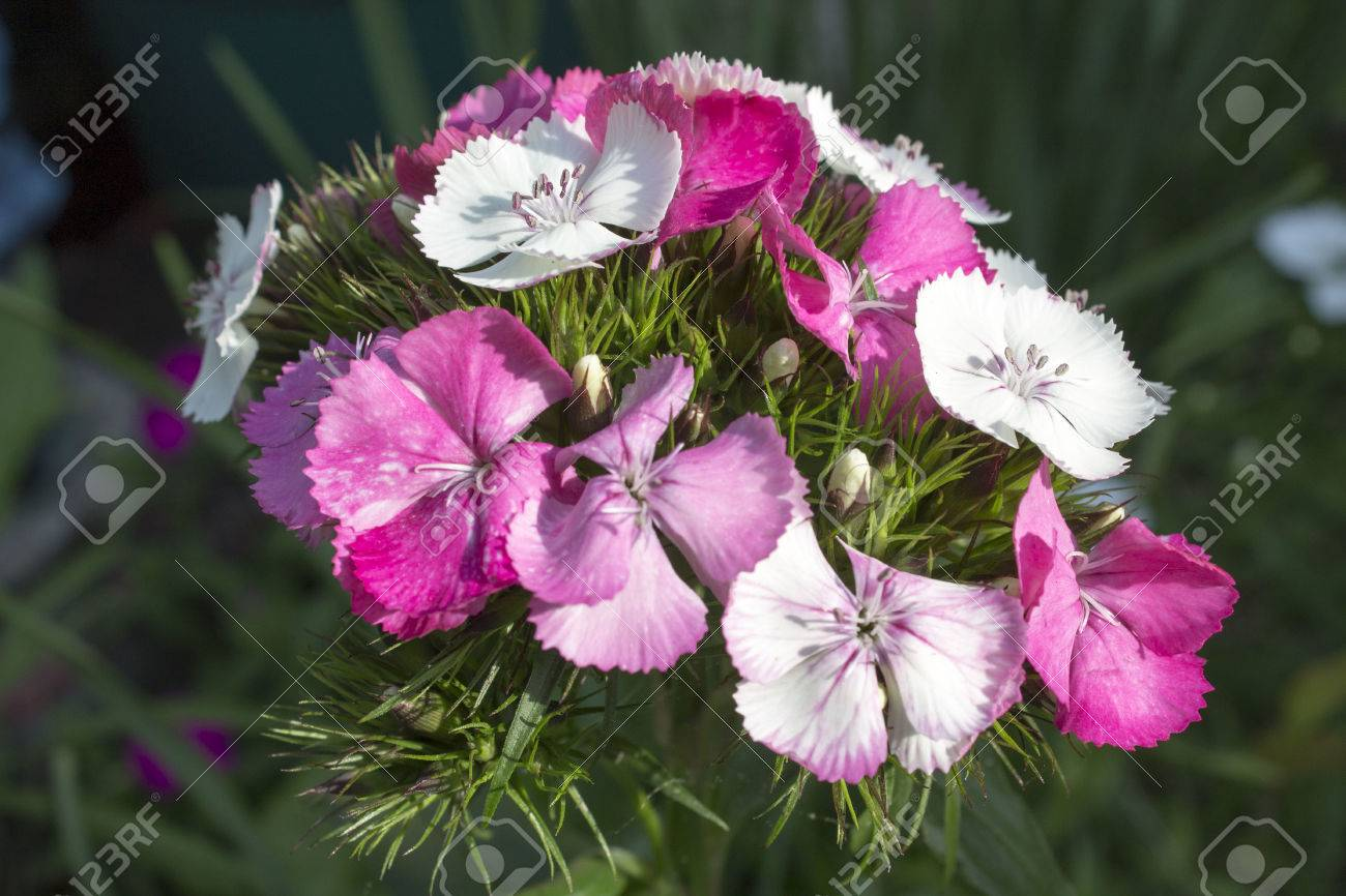 Sweet william dianthus flowers in pinks and white stock photo stock photo sweet william dianthus flowers in pinks and white mightylinksfo