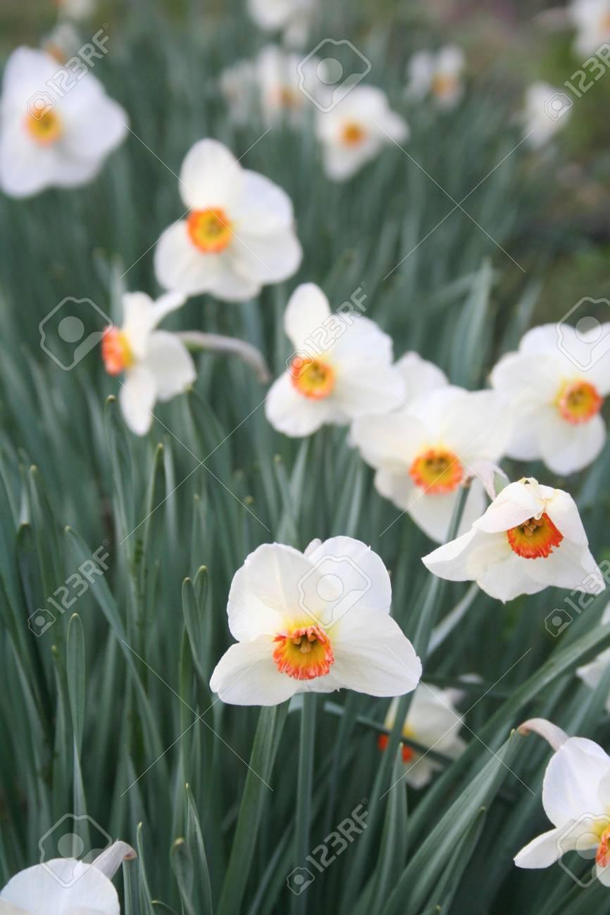White daffodil flowers in the garden stock photo picture and stock photo white daffodil flowers in the garden mightylinksfo