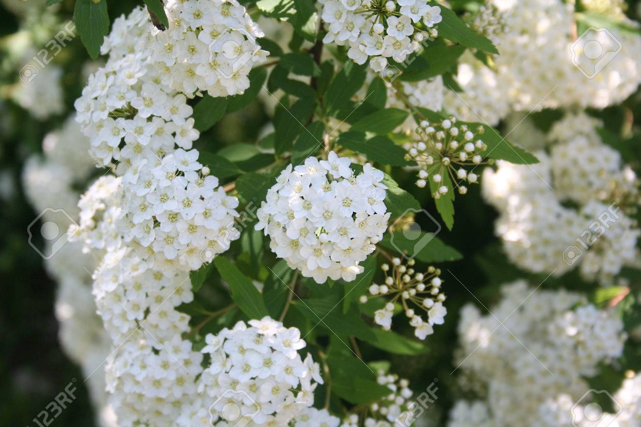 Spirea bush blooming white small flowers stock photo picture and bush blooming white small flowers stock photo 78248169 mightylinksfo