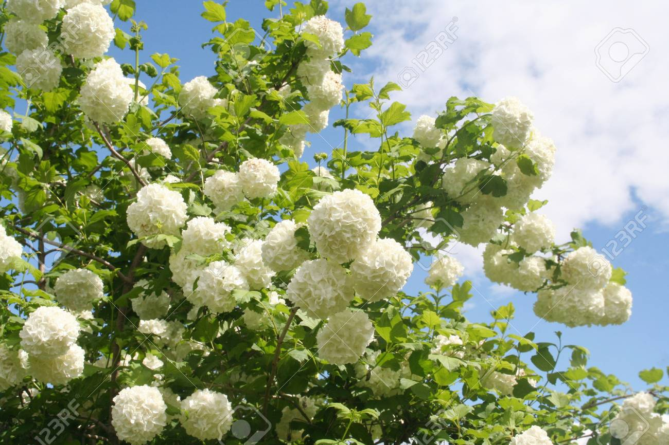 Viburnum opulus with white flowers against blue skyowball stock stock photo viburnum opulus with white flowers against blue skyowball bush in the garden mightylinksfo