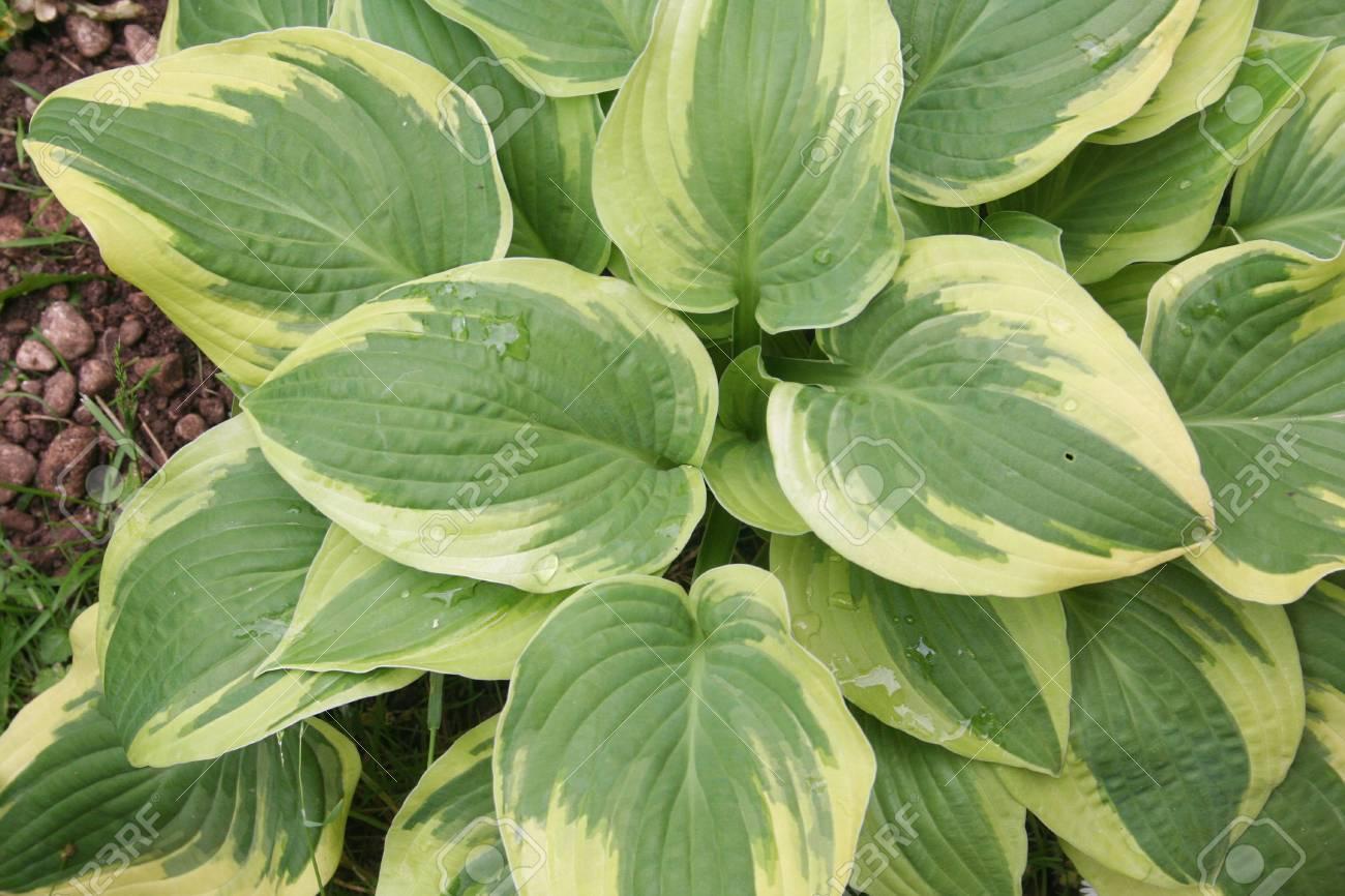 Variegated Hosta Plant In The Garden