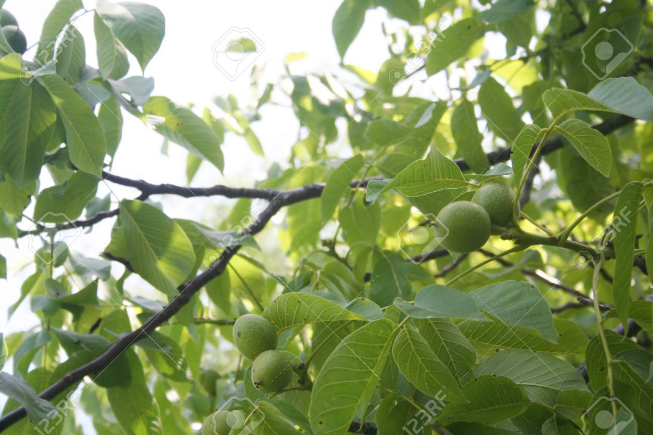 Walnut tree branch with fruit in summer  Juglans regia