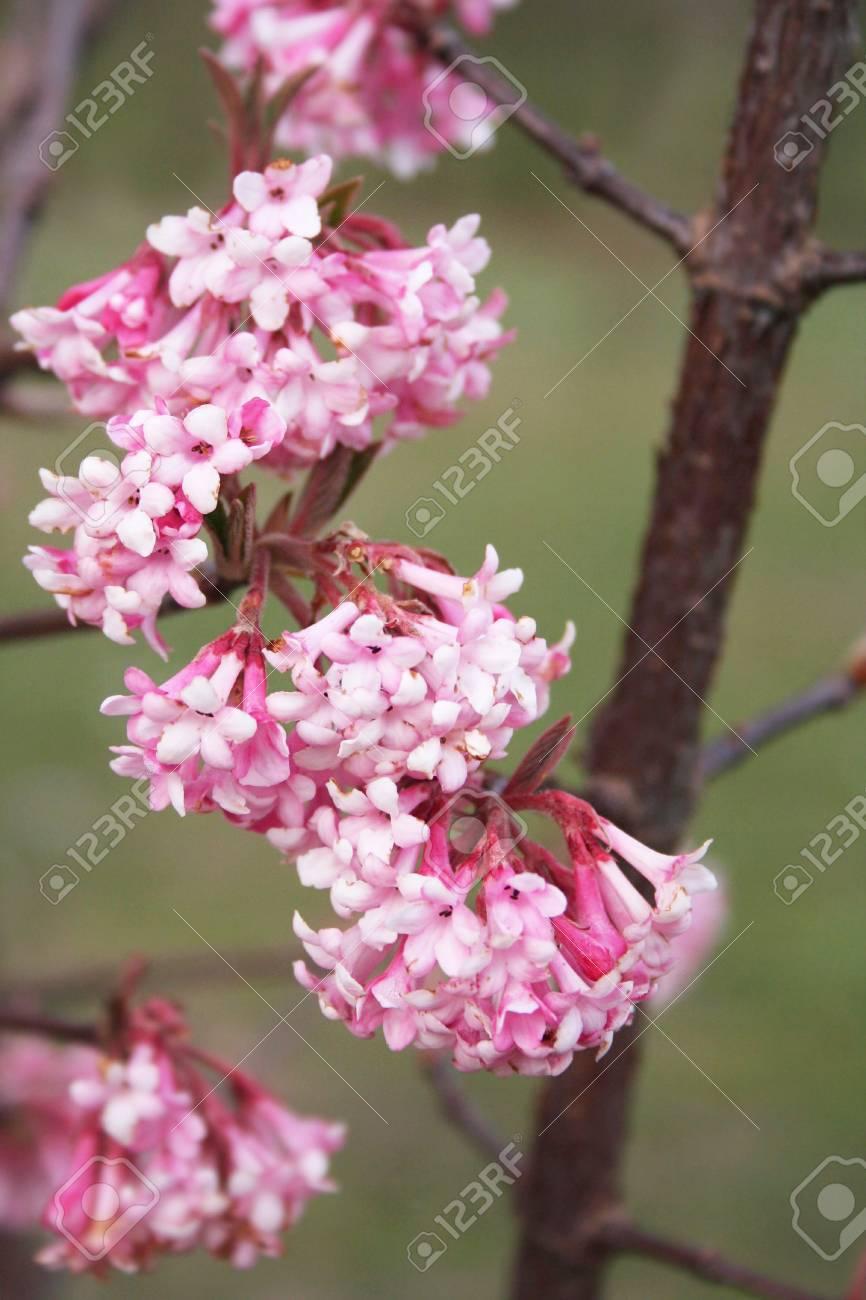 Dawn viburnum v bodnantense dawn pink flower in winter stock dawn viburnum v bodnantense dawn pink flower in winter stock photo 81649968 mightylinksfo