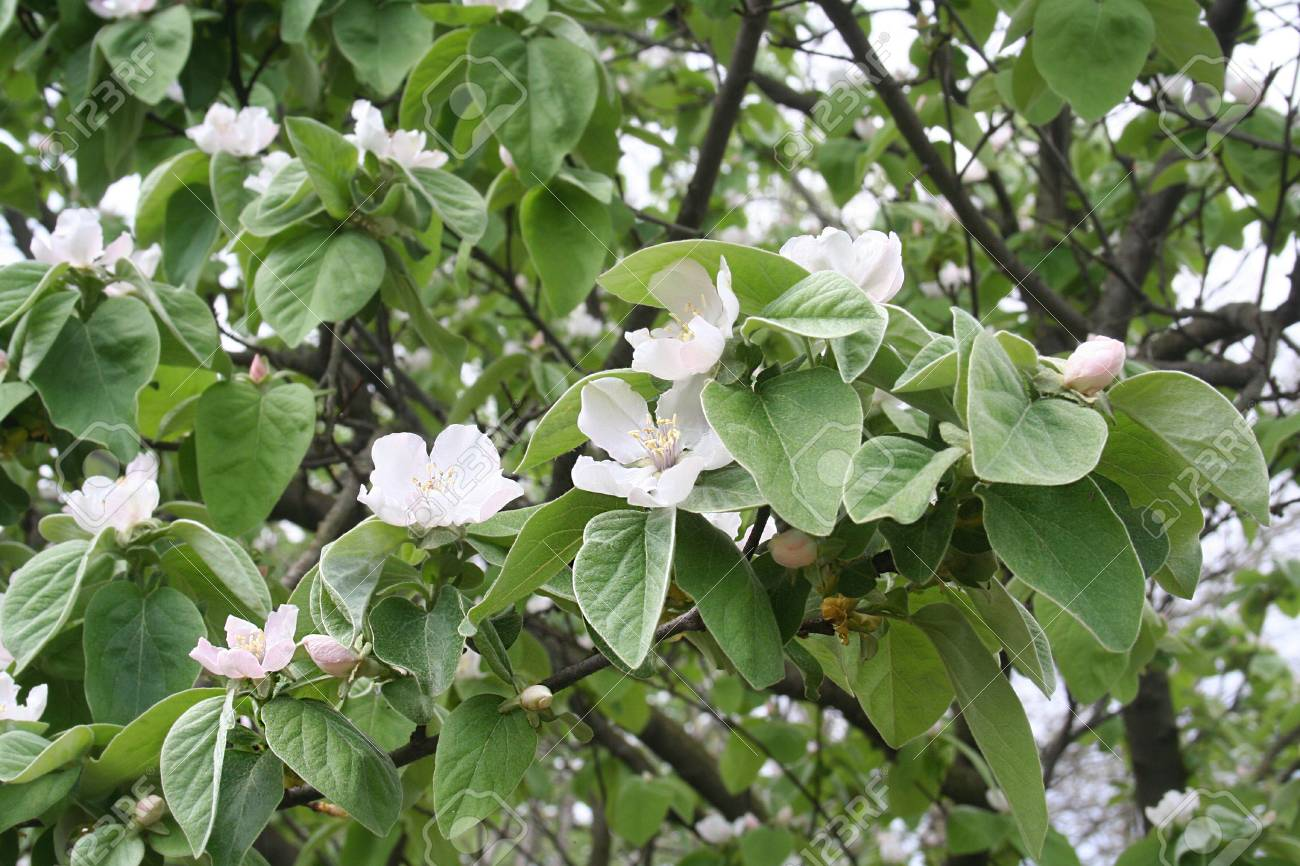 Quince tree in bloom white flowers in spring stock photo picture quince tree in bloom white flowers in spring stock photo 82367403 mightylinksfo
