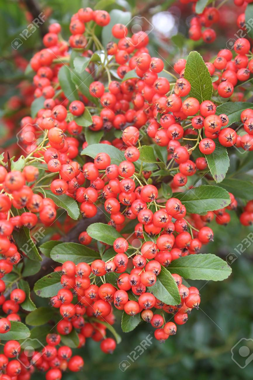 Red Berries On Pyracantha Bush Firethorn In Winter Stock Photo