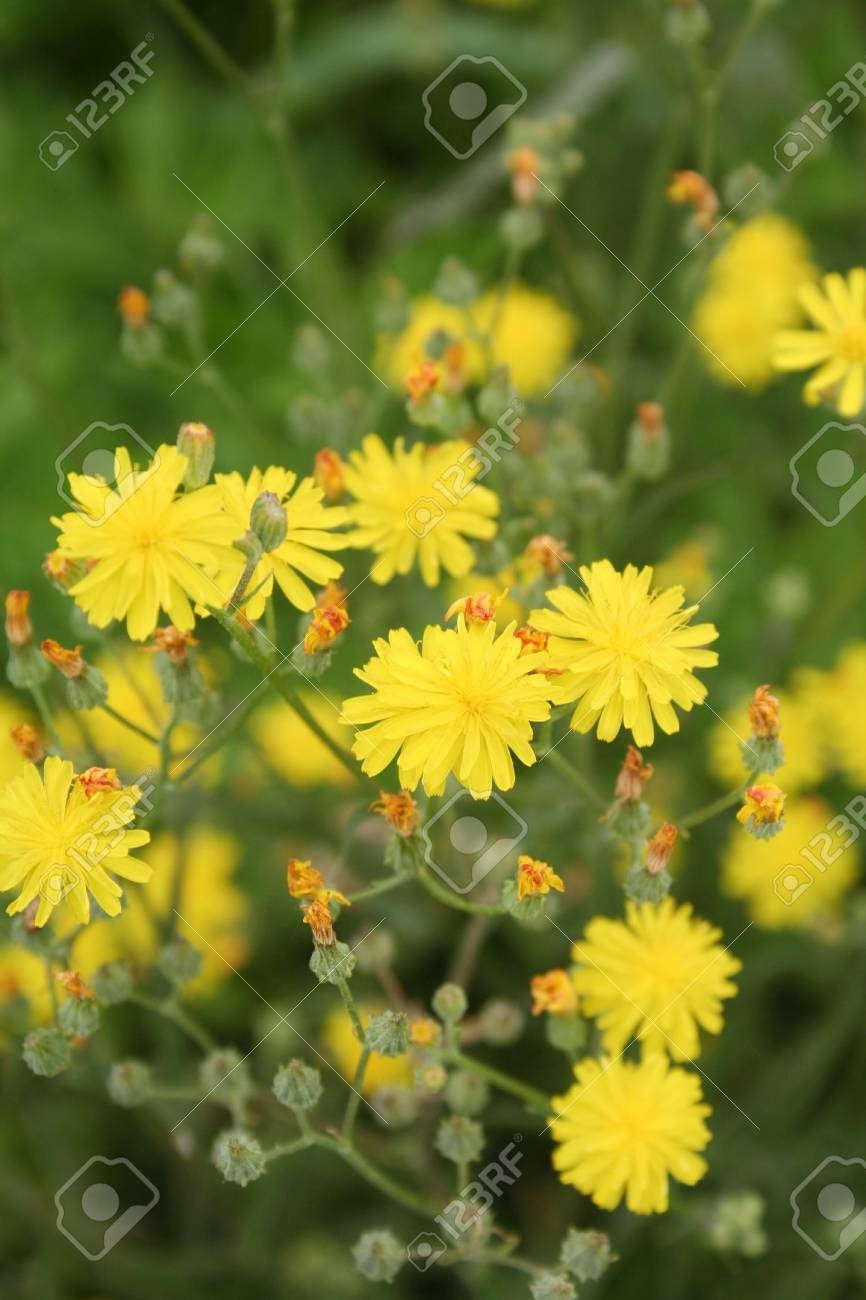 Wild Yellow Flowers Spring Background With Selective Focus Stock