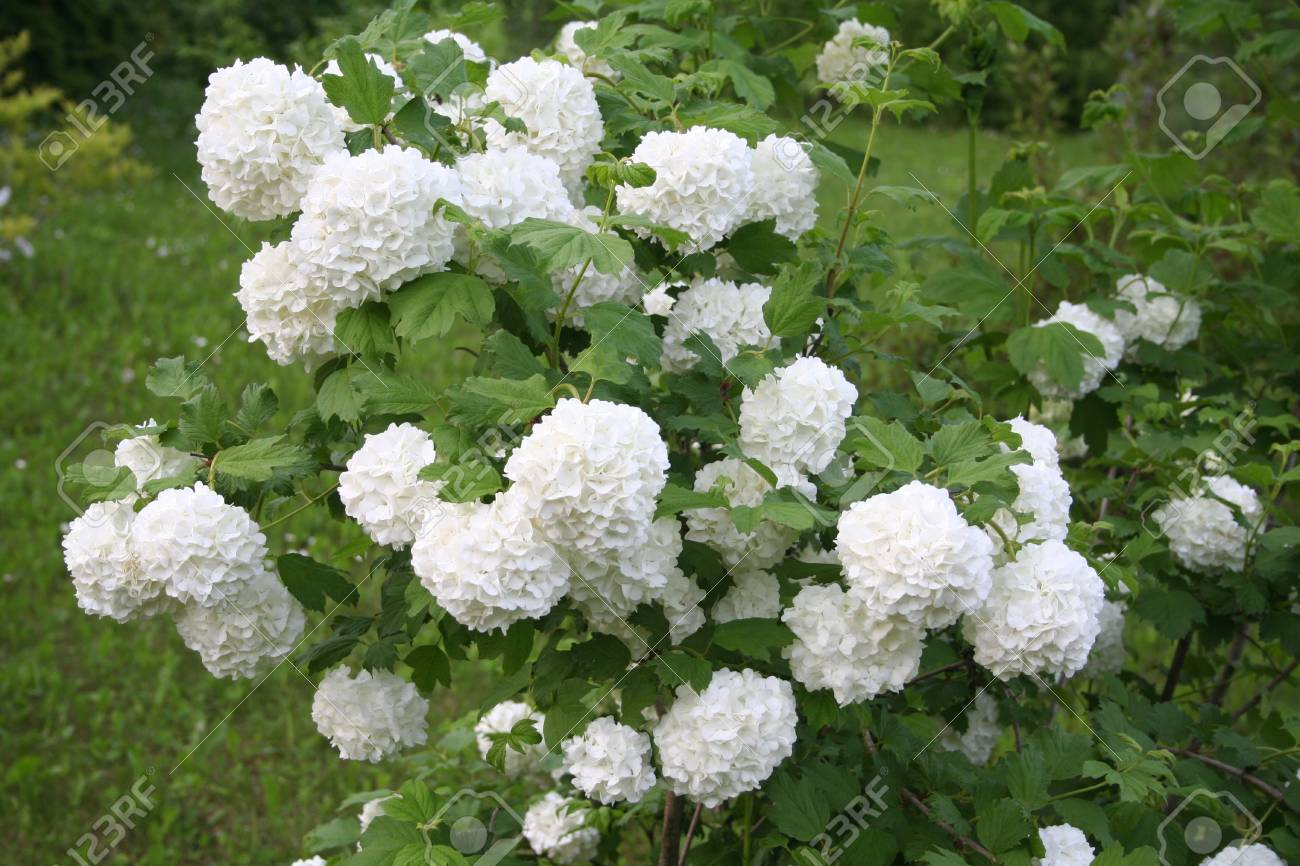Viburnum Opulus With White Flowers In Spring Snowball Bush In