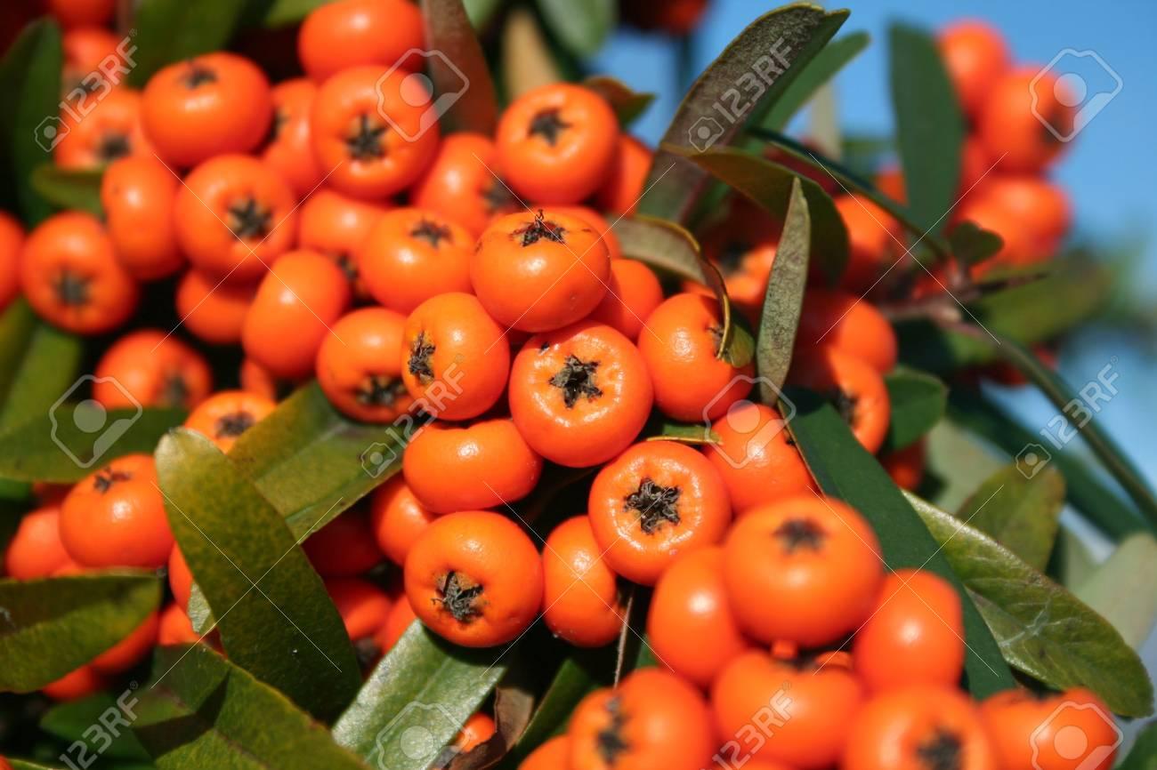 Pyracantha Or Firethorn Orange Berries On The Bush Stock Photo