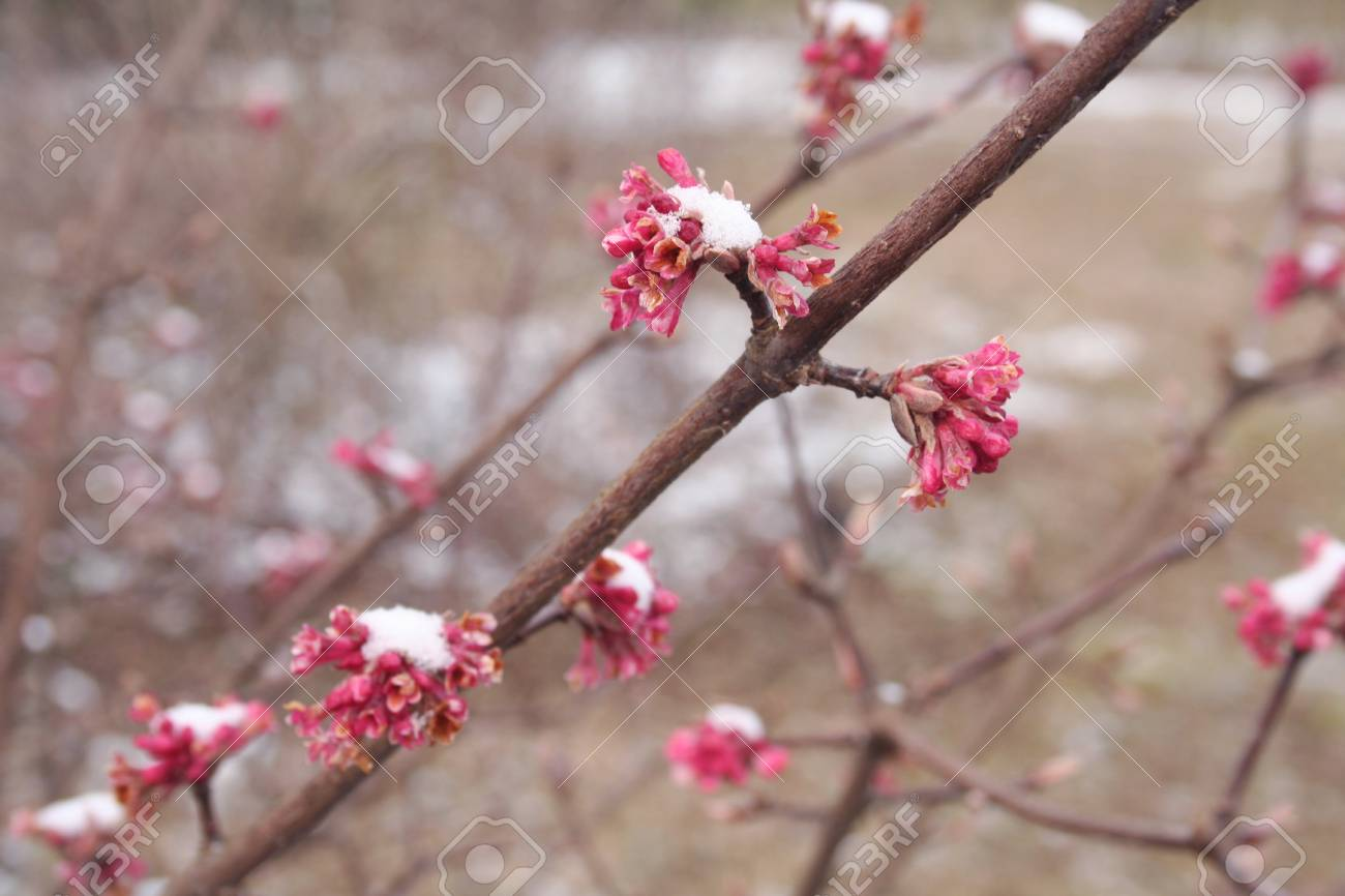 Dawn Viburnum With Pink Flowers Covered By Snow V Bodnantense