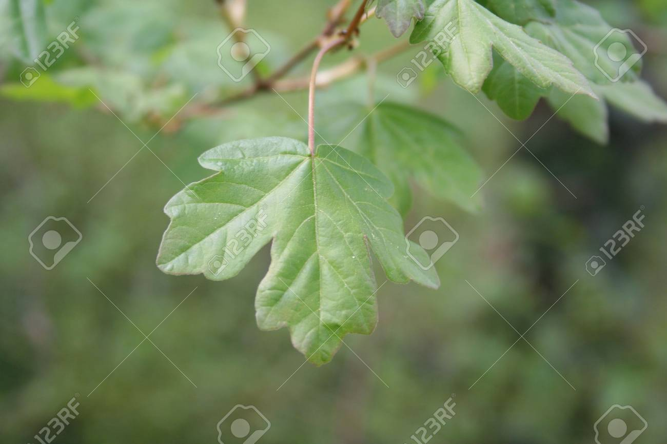 Field Maple Tree With Fresh Green Leaf In Springtime Acer Campestre