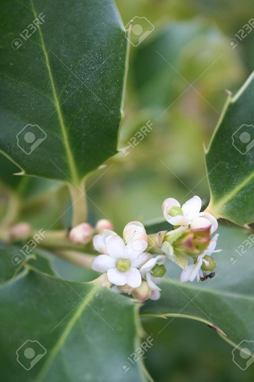 Ilex Aquifolium Holly Tree With Small White Flowers In Springtime