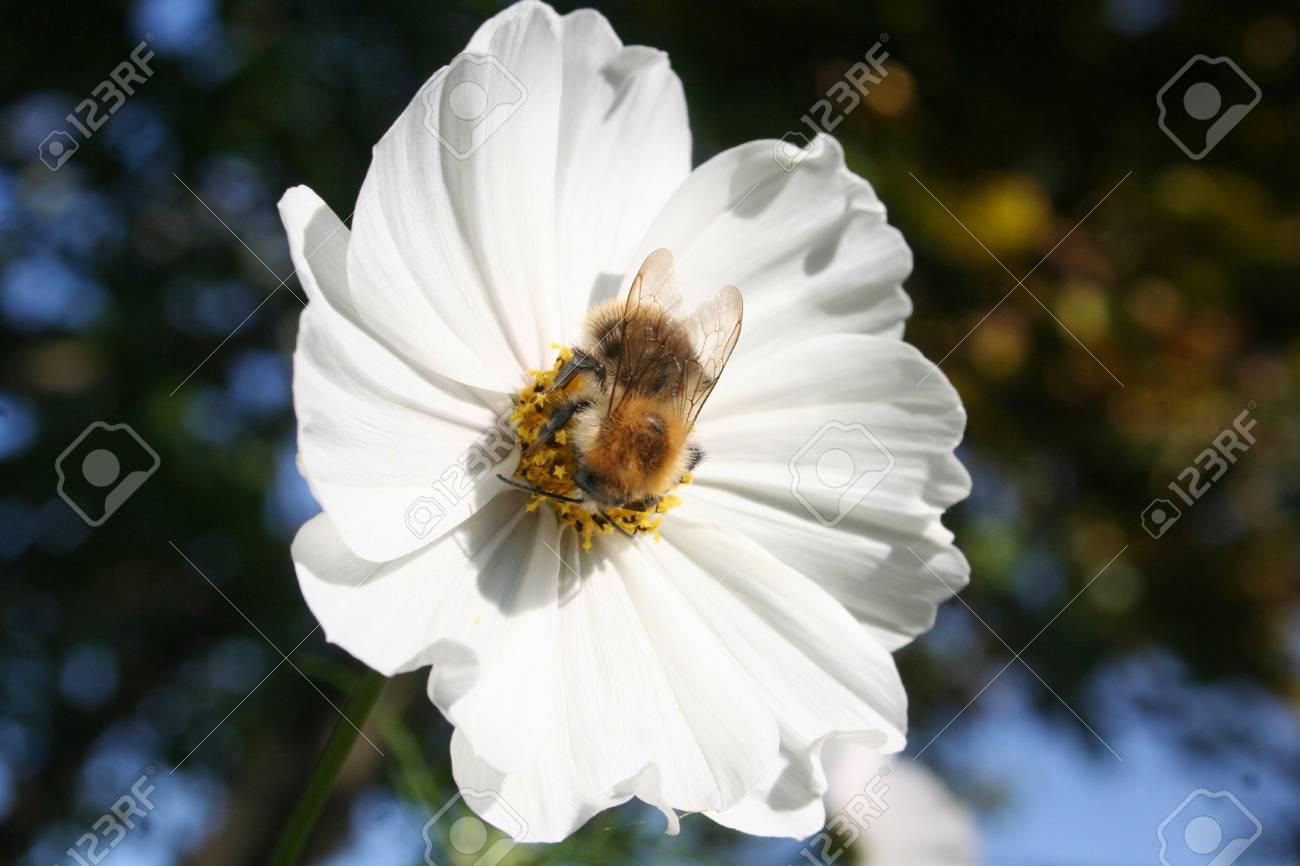 Honey Bee On White Cosmos Flower Cosmos Bipinnatus In The Garden