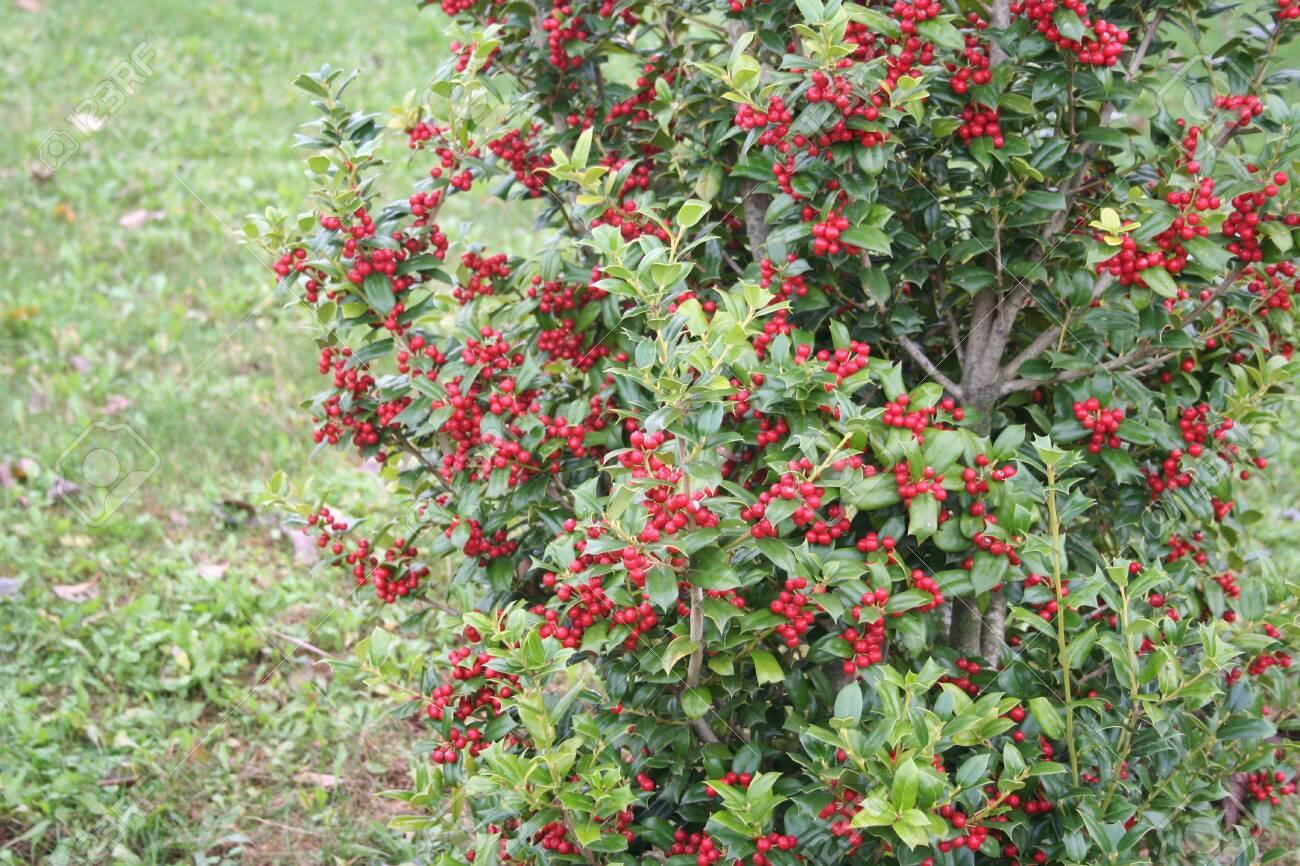 Holly Bush With Red Berries In The Garden Ilex Cornuta Plant
