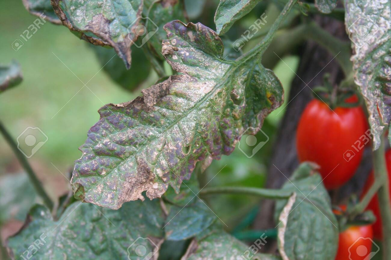Downy mildew on cherry tomato plant  Cherry tomatoes plant with