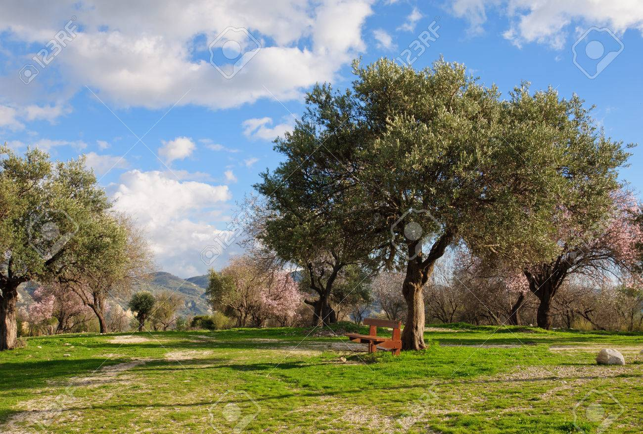 Olive Garden With Brown Bench Spring, Cyprus. Stock Photo, Picture ...