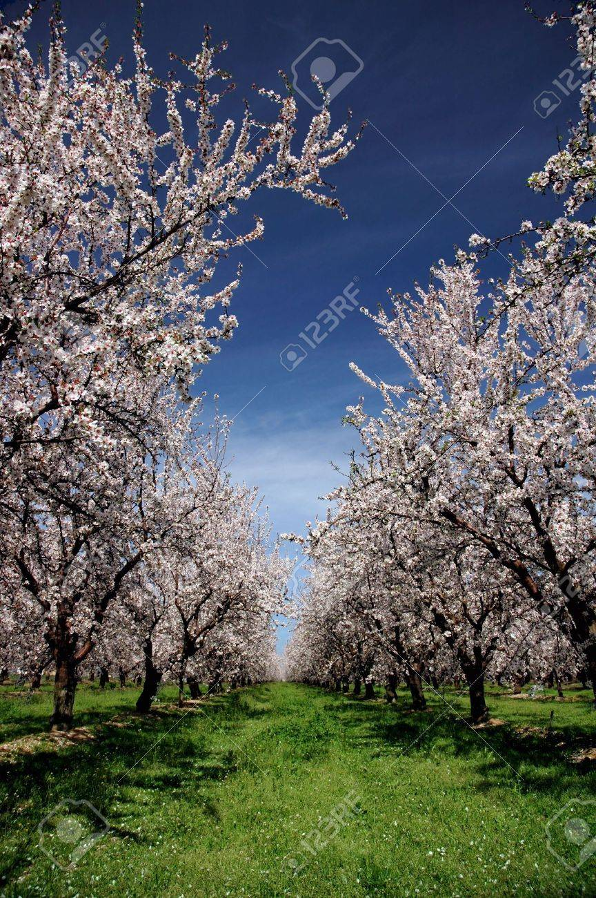 Almond Orchard In Bloom Under Springtime Skies Stock Photo - 909272