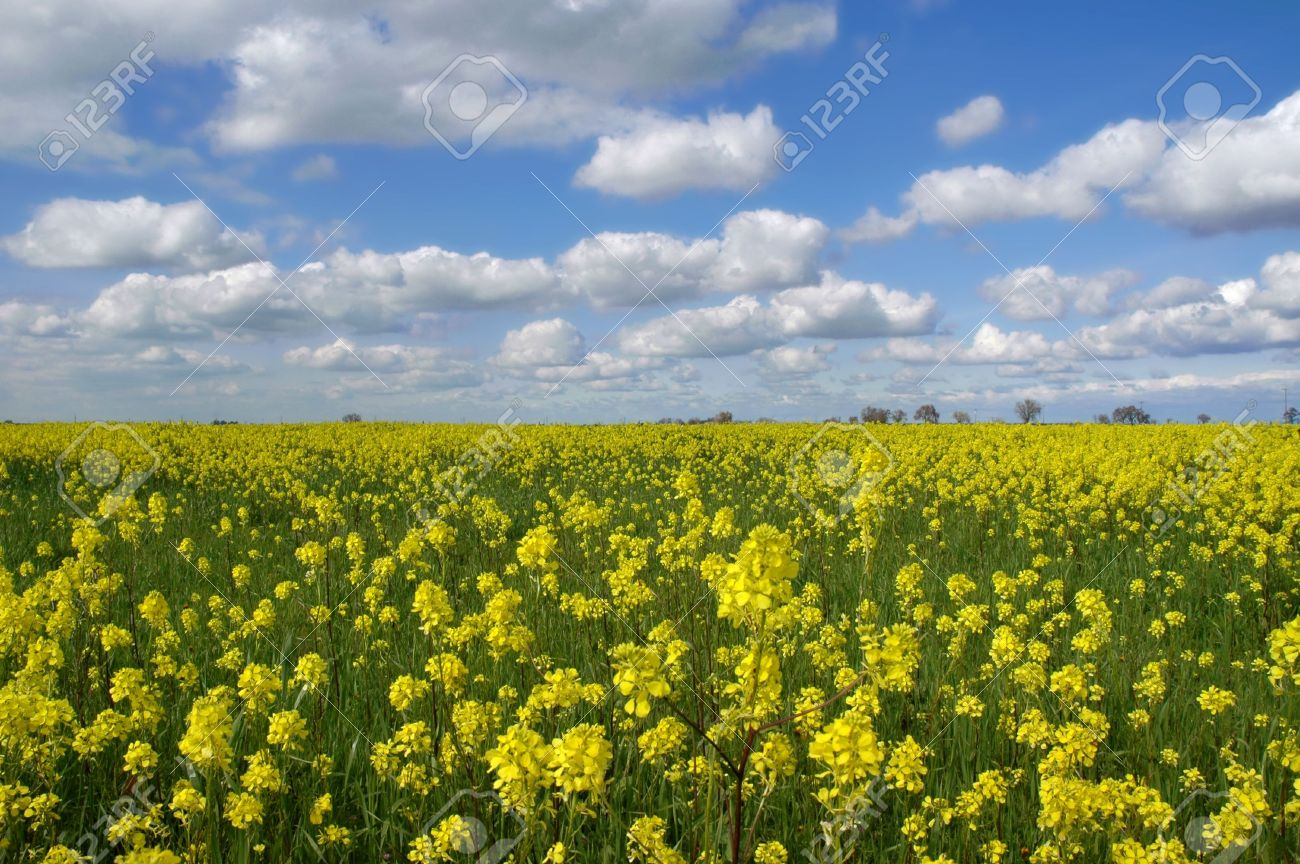 Mustard flowers under puffy white clouds and deep blue sky stock mustard flowers under puffy white clouds and deep blue sky stock photo 1173335 mightylinksfo