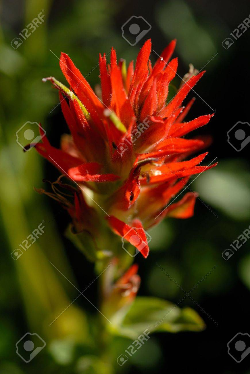 High contrast detail of Indian Paintbrush wildflower, Emigrant Wilderness, California Stock Photo - 3420847