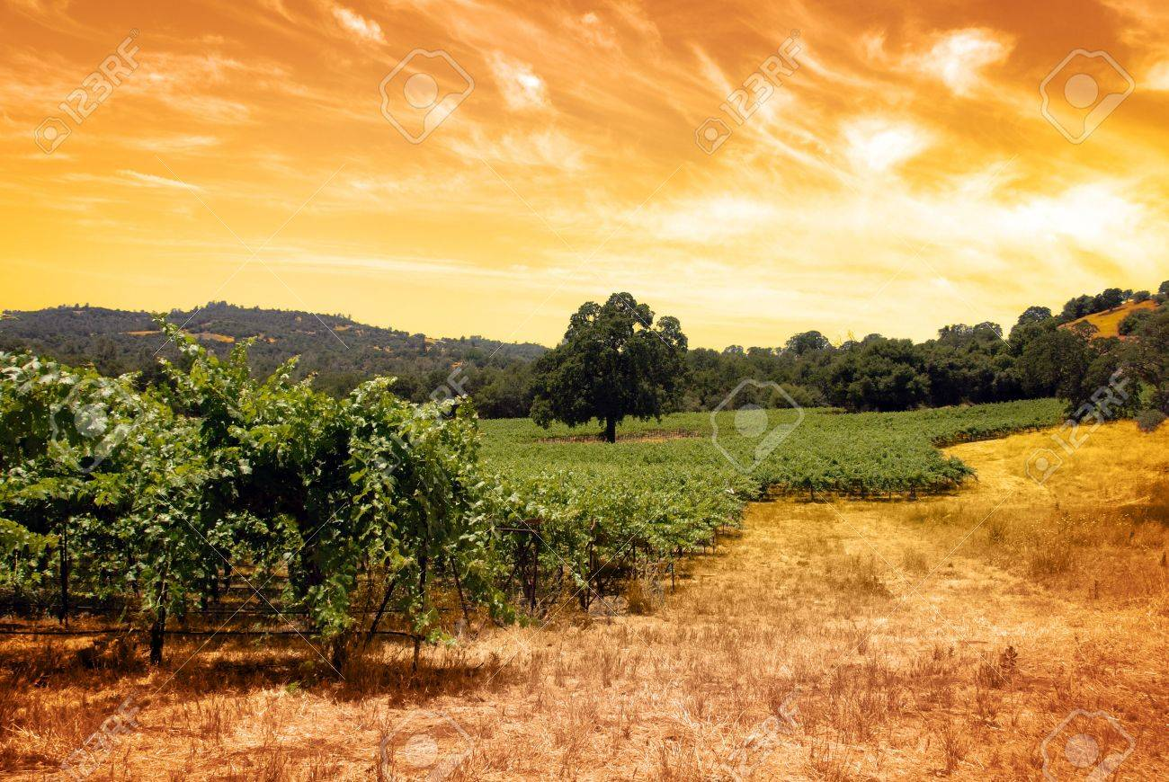 Green grape vines under oak tree and hand toned tobacco sky. Stock Photo - 5225594