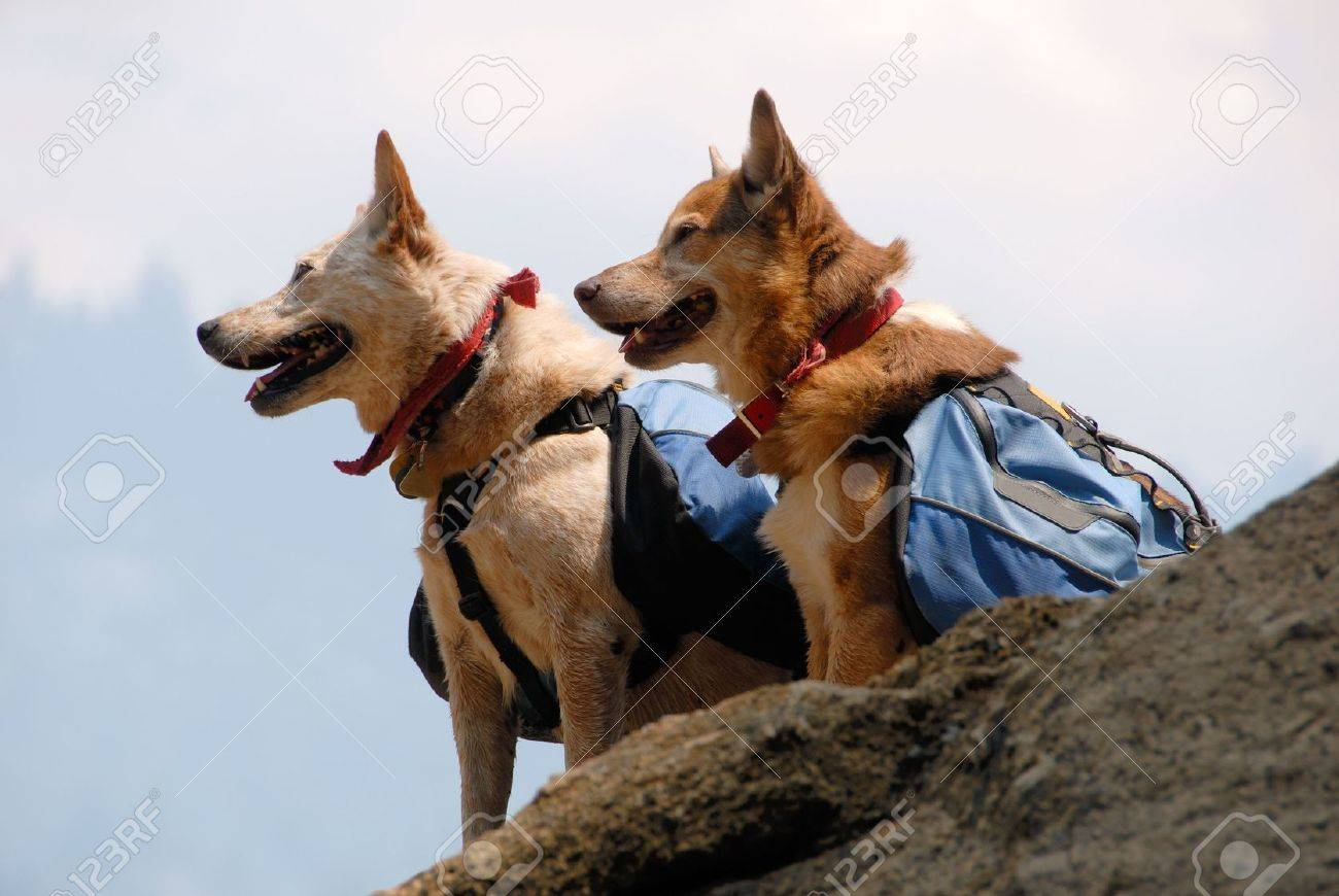 Two dogs with backpacks paused while hiking on a mountain trail. Stock Photo - 5586668