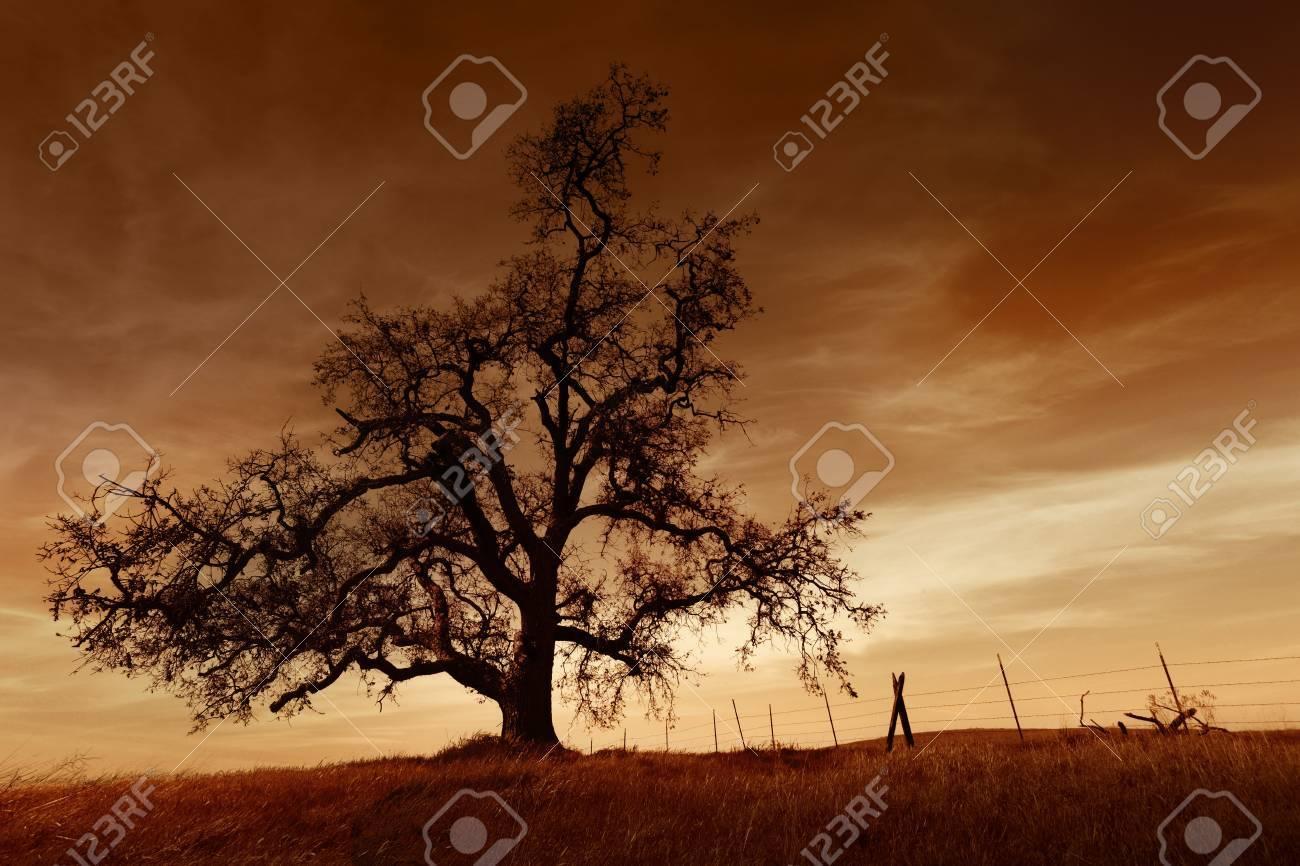 Silhouette of bare oak tree in Winter, sunset, San Joaquin Valley, California.. Stock Photo - 10255790
